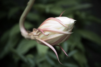 Night-blooming Cereus Bud