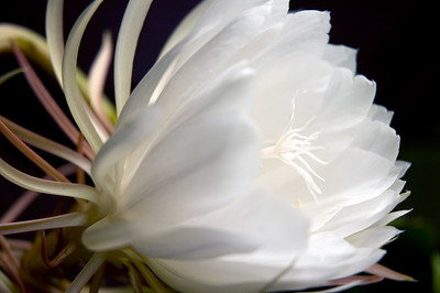 Night-blooming Cereus Bloom