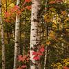Sugar Maple and Birch.