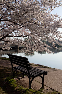 Cherry Blossoms in Washington D. C.