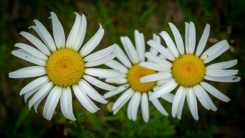 Daisy Wheels