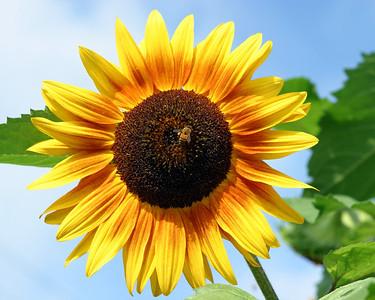 Sunflower with Bee II