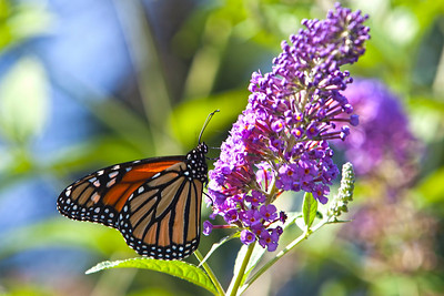 Butterfly Bush with Friend