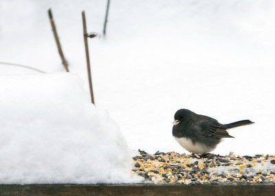 Junco...feasting!