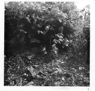 Cat under Gooseberry Bush at rear of 2 Weathervane Cotts