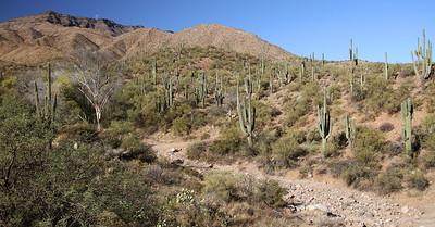 Tall Saguaro Cactus below the first mountain range