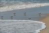 Sandpipers in Surf_08778_8-18©DonnaLovelyPhotos com -