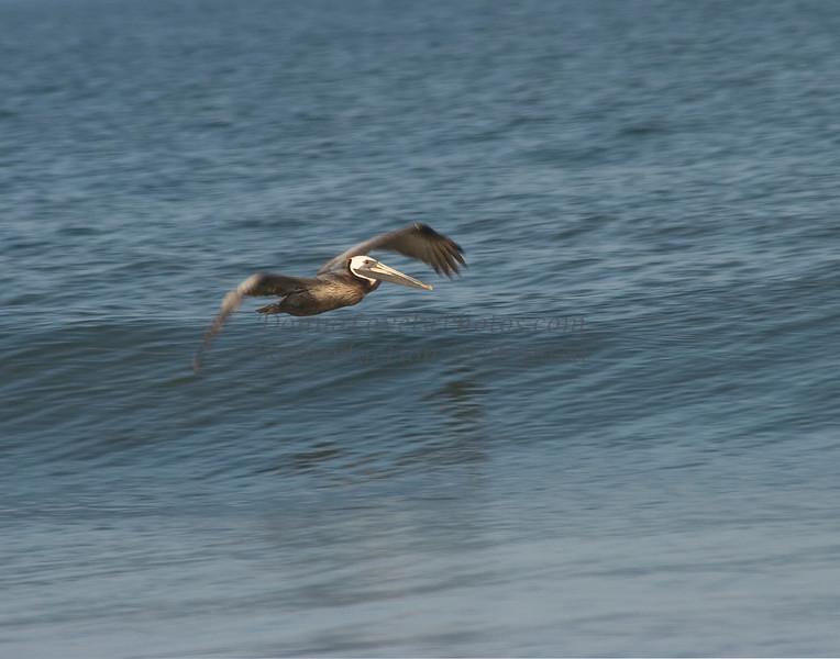 Pelican Over Ocean