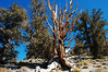 Ancient Bristlecone Pine Trees in the White Mountains of California. The oldest known living things on Earth.