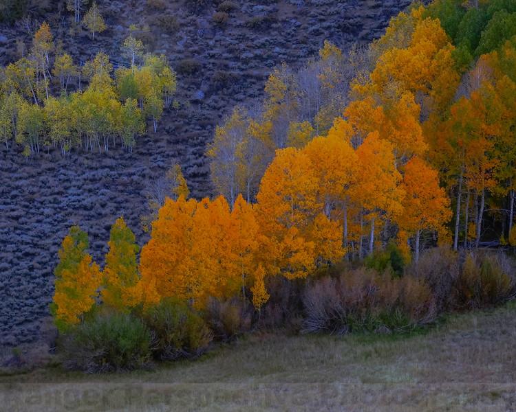 Aspen along Lundy Canyon Road