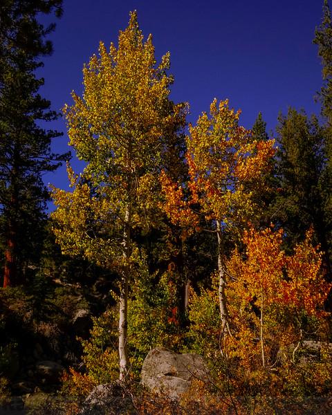 Yosemite Creek Aspen