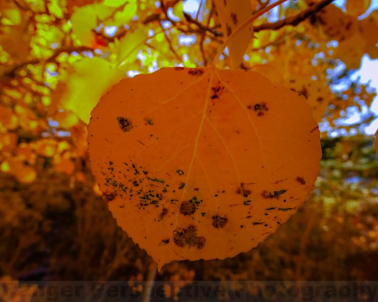 Asepn Leaf