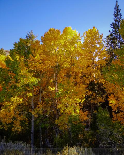 Aspen along Lee Vining Creek