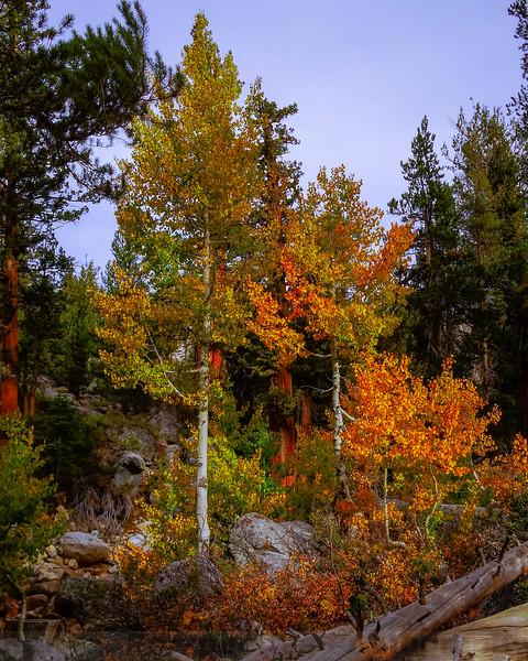 Yosemite Creek Aspen #2