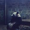 04/75 Washington Zoo<br /> Ling Ling
