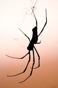 The Golden Spider Silhouette
