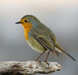 Small birds - Robin - image taken at forest area.