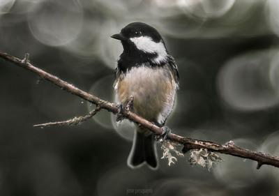 Small birds - Coal Tit