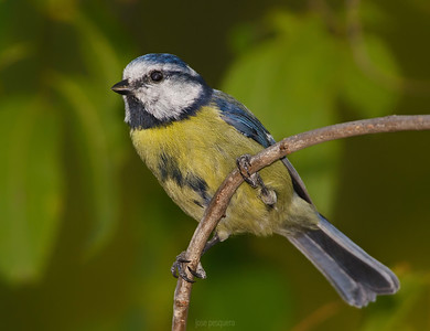 Small birds - Blue Tit - image taken at forest area.