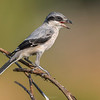 """Southern Grey Shrike - This medium-sized passerine bird eats large insects, small birds and rodents. Like other shrikes it hunts from prominent perches, and impales corpses on thorns or barbed wire as a """"larder""""."""