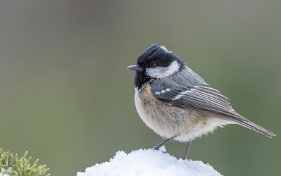 Small birds - Coal Tit - on the snow.
