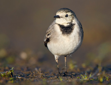 White Wagtail (Motacilla alba). It's a small passerine bird in the wagtail family Motacillidae, which also includes the pipits and longclaws. This is an insectivorous bird of open country, often near habitation and water. It prefers bare areas for feeding, where it can see and pursue its prey.