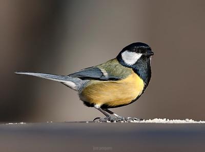 Small birds - Great Tit - around the feeder.