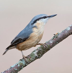 """The Eurasian Nuthatch (Sitta europaea) is a small passerine. It is a resident bird of deciduous woods and parkland, with some old trees for nesting. It feeds on insects, seeds and nuts. Its old name """"nut-hack"""" derives from its habit of wedging a nut in a crevice in a tree, and then hacking at it with its strong bill. It has the ability, like other nuthatches, to climb down trees, unlike species such as woodpeckers which can only go upwards. It will come to bird feeding tables, and is then very aggressive, driving other species away."""