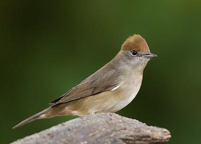 Small birds - Eurasian Blackcap - image taken at forest area