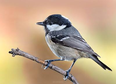 Small birds - Coal Tit - around the feeder.