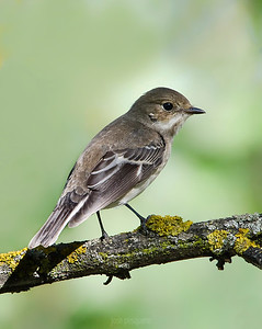 Small birds - Pied Flycatcher - Image taken at forest area.