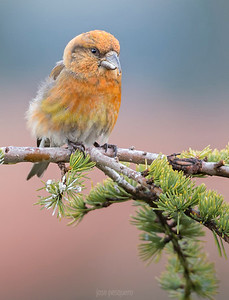 The crossbill is a bird in the finch family (Fringillidae). These birds are characterised by the mandibles crossing at their tips, which gives the group its English name. Adult males tend to be red or orange in colour, and females green or yellow, but there is much variation. These are specialist feeders on conifer cones, and the unusual bill shape is an adaptation to assist the extraction of the seeds from the cone.