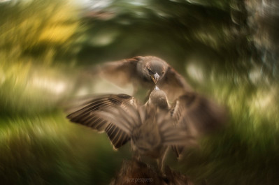 Sparrows in fight