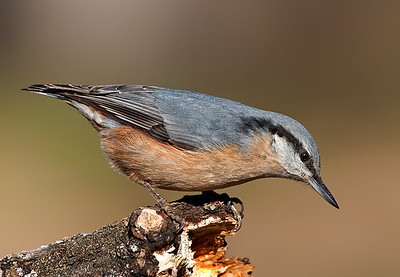 Small birds - Eurasian Nuthatch - image taken at forest area.