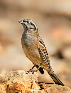 Small birds - Rock Bunting - image taken at forest area.