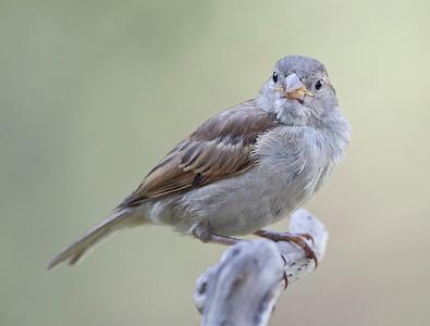 Small birds - Sparrow - around the feeder.