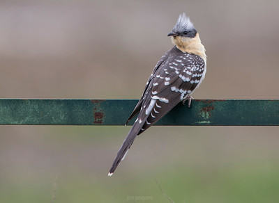 Great spotted cuckoo (Clamator glandarius)