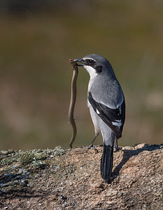 Southern Grey Shrike (Lanius meridionalis) after hunting a Bedriaga's skink (Chalcides bedriagai)