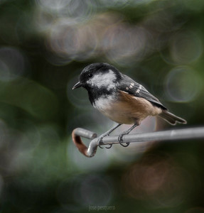 Small birds - Coal Tit