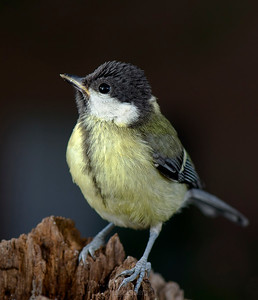 Small birds - Crested Tit (young) - around the feeder.