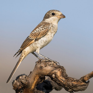 "Woodchat Shrike (Lanius senator) - Female - This medium-sized passerine bird eats large insects, small birds and rodents. Like other shrikes it hunts from prominent perches, and impales corpses on thorns or barbed wire as a ""larder""."