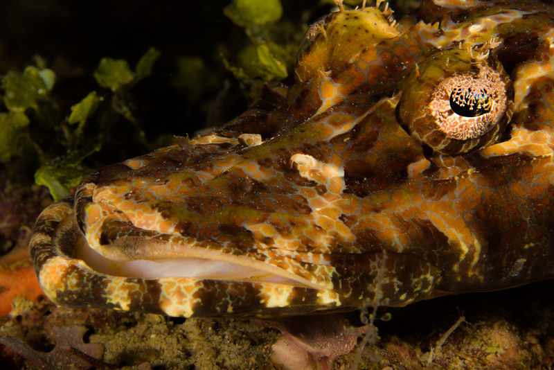 Crocodile Flathead (Cymbacephalus beauforti)