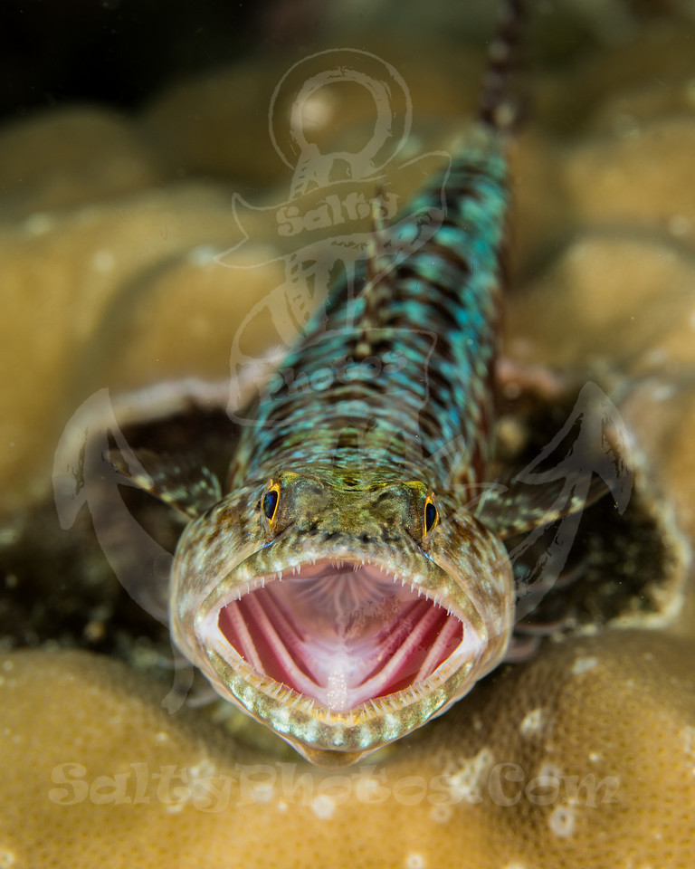 Slender Lizardfish (Saurida gracilis)