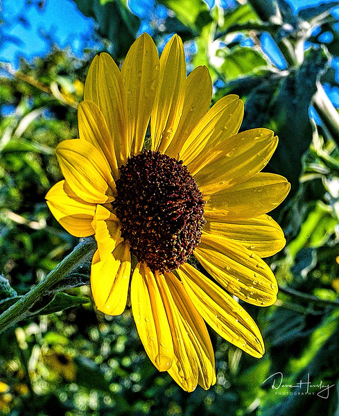 Sunflower near the Big Tree