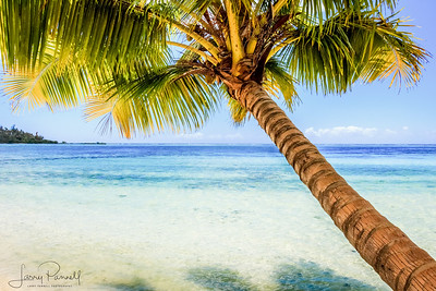 Moorea Palm Tree