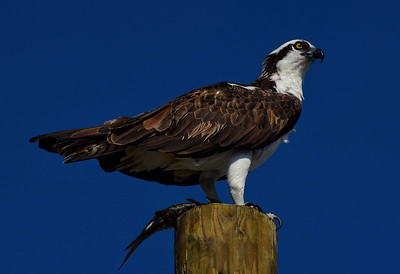 Osprey on Watch, Pine Island FL