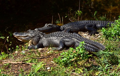 Gator's in the Glades, FL