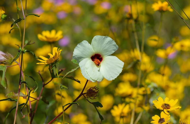Halberdleaf Rosemallow (Hibiscus laevis)