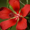 Scarlet Rosemallow (Hibiscus coccineus)