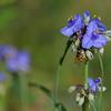Ohio Spiderwort (Tradescantia ohiensis)